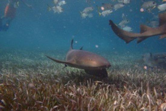 Belize Magical Adventures: nurse sharks