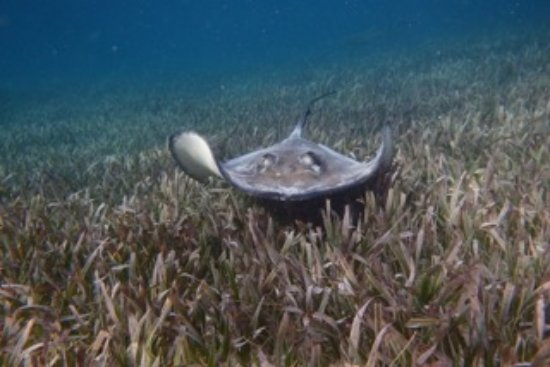 Belize Magical Adventures: sting ray