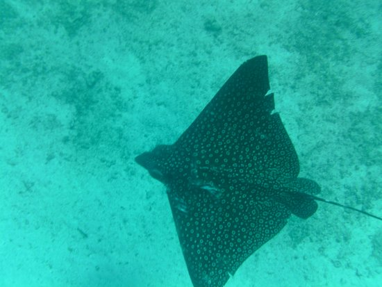 Belize Magical Adventures: eagle ray