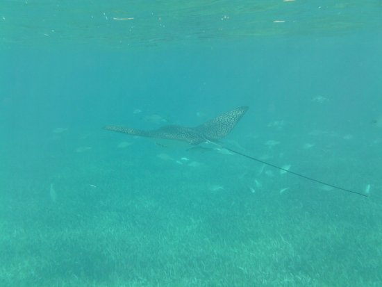 Belize Magical Adventures: huge eagle ray