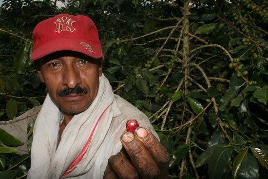 Genova, Colombia: El arte de recolección de café para escoger las mejores semillas de Variedad Ramírez en Finca Gé