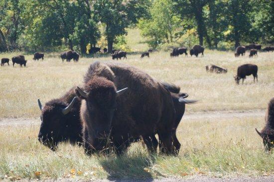 Custer State Park: Buffalo