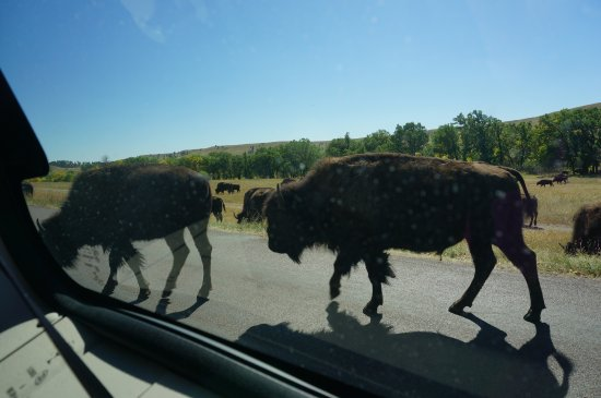 Custer State Park: They come right up to your vehicle!