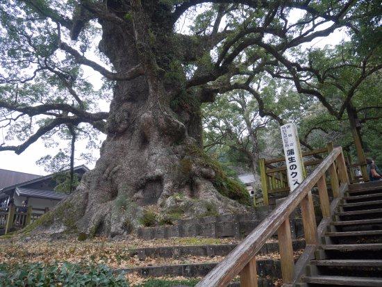 Aira, Japan: 蒲生の大クス近景