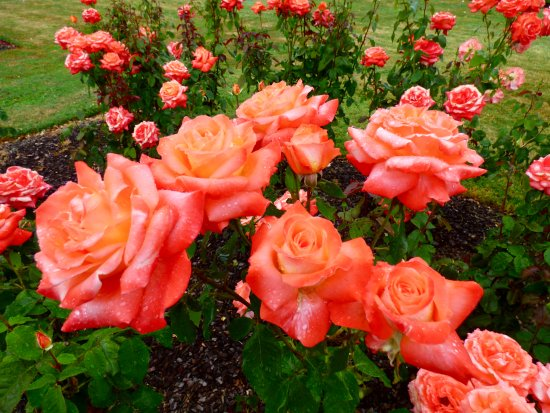 Palmerston North, New Zealand: Tequila Sunrise rose