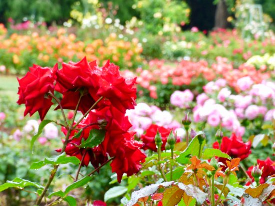 Palmerston North, New Zealand: A collection of Roses