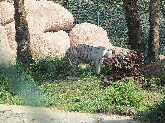 Nehru Zoological Park: white tiger