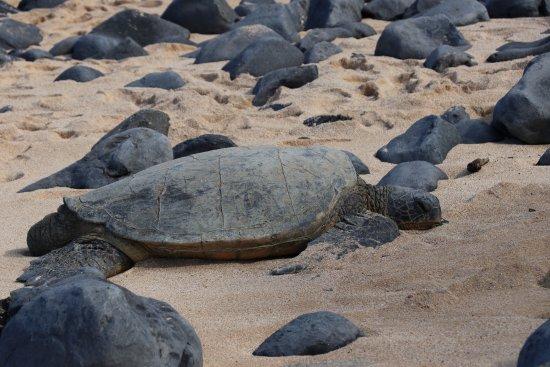 Paia, Hawái: Just sunning on the beach