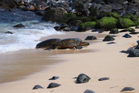 Paia, Hawái: Green Sea Turtles