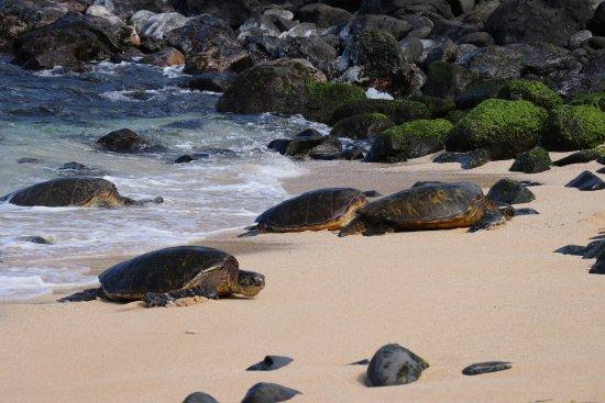 Ho'okipa Beach Park : Turtles arriving