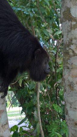 Community Baboon Sanctuary: Howler Monkey