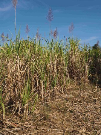 Vientiane, Laos: Sugar-cane ready for harvest, 3 to 5 meters tall