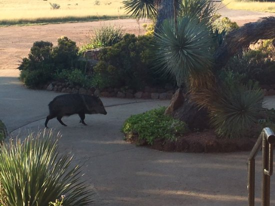 Fort Davis, TX: This little javelina (not a hog!) paid us a visit one afternoon.