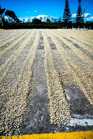 Poas Volcano National Park, Costa Rica: Drying the coffee beans