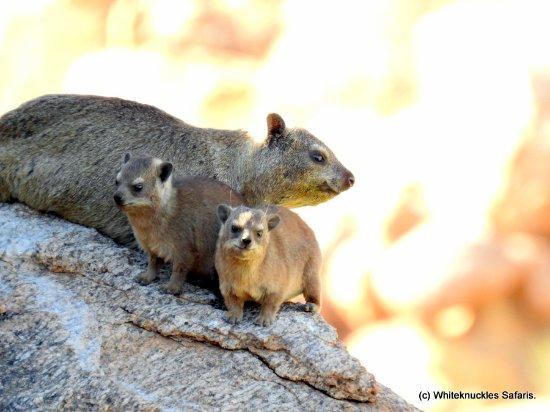 Cañón Fish River, Namibia: Cute Hyrax family.