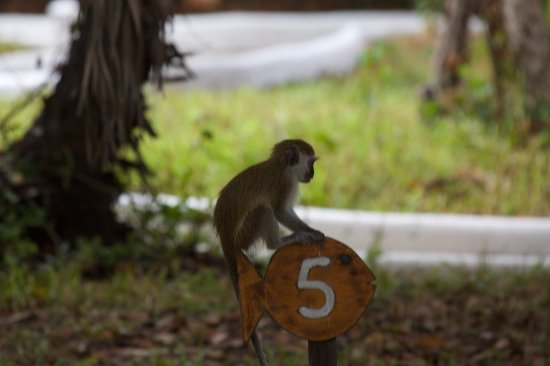 Ras Kutani: Monkey on my cottage sign