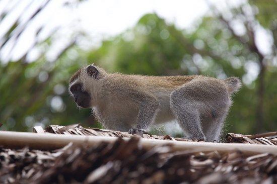Kutani, Tanzania: Monkey on my roof