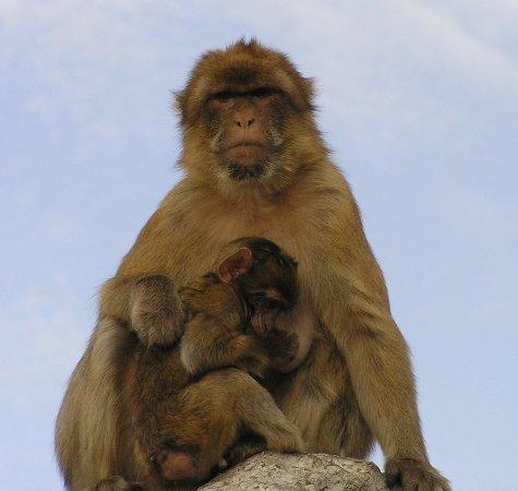 "Mediterranean Steps: Barbary ""ape"" nursing baby, Rock of Gibraltar"