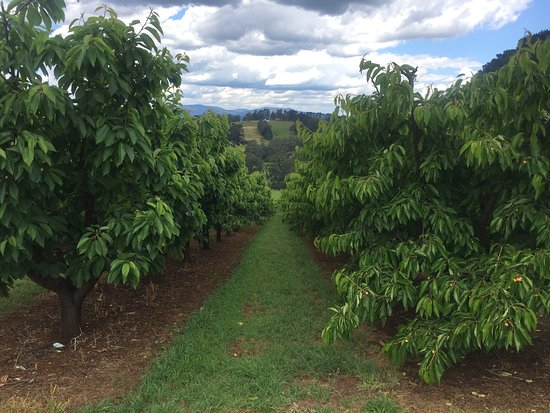 Seville, Australien: yes they grow cherries too :)