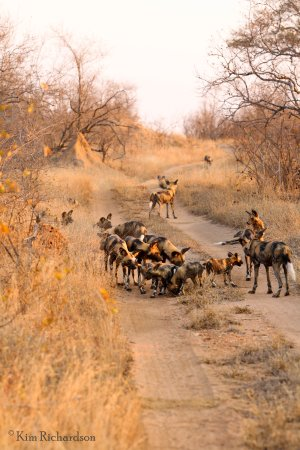 Timbavati Private Nature Reserve, South Africa: Wild dog traffic jam