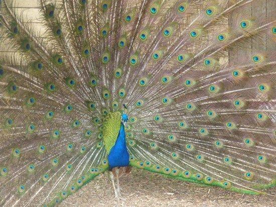 Phillip Island, Australië: Peacock