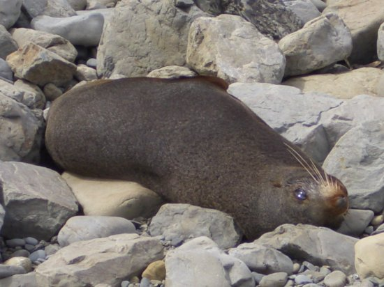 Ohau Point Seal Colony: アザラシ沢山