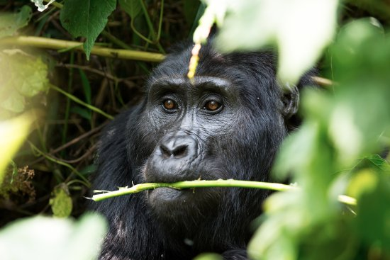 Kori Safaris: Gorilla munching on lunch