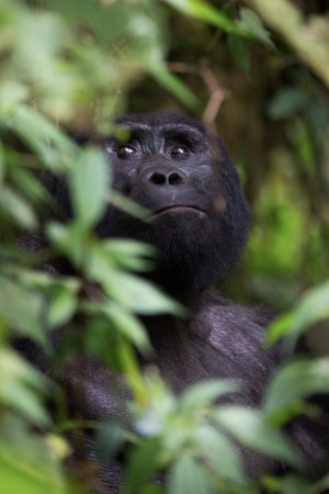 Kori Safaris: Gorilla spotted in the Bwindi Impenetrable Forest.