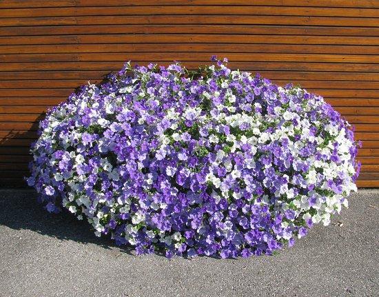 Ansfelden, Austria: Blumenpracht