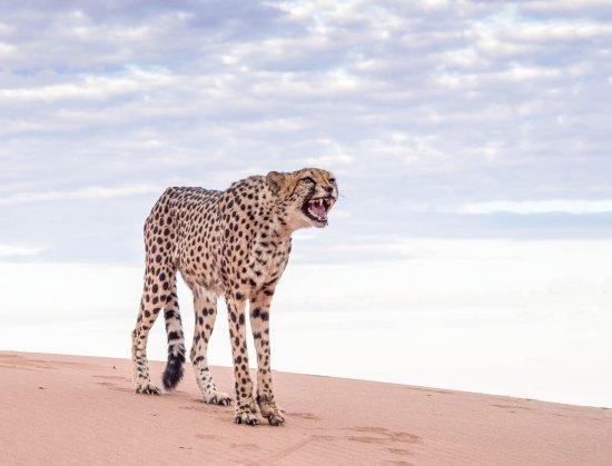 Swakopmund, Namibia: grumpy cheetah
