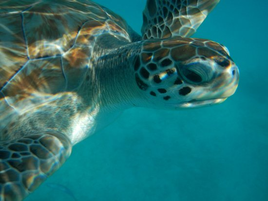 Bridgetown, Barbados: Get close and personal with the sea turtles