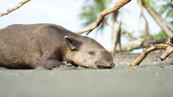 Drake Bay, Costa Rica: Tapir taking a nap | Corcovado National Park