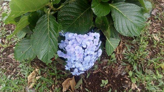 Estado de Río Grande del Sur: Flor Hortênsia