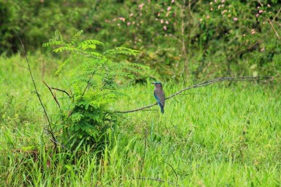 Provincia de Prachuap Khiri Khan, Tailandia: Asian fairy bluebird in Kuiburi