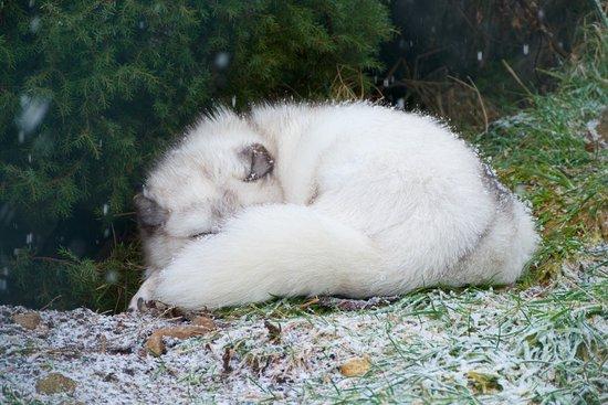 Kingussie, UK: Arctic Fox
