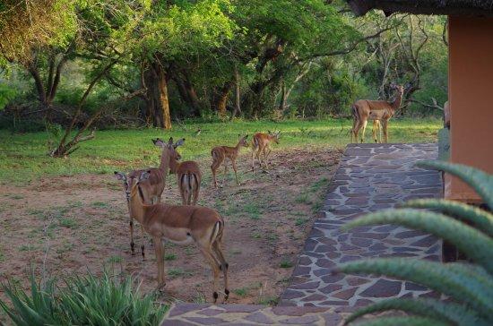 Mkuze, แอฟริกาใต้: Impalas im Garten