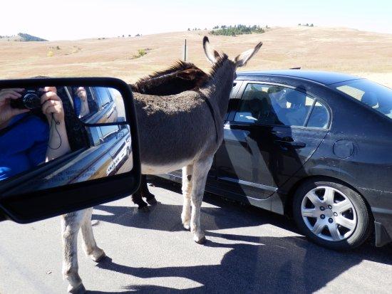 Custer State Park: Nieuwsgierige ezels