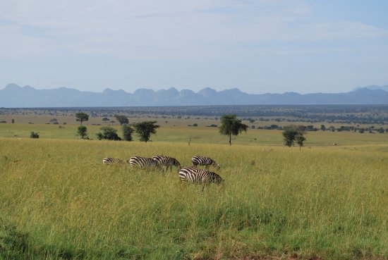 Masindi, Uganda: the black and white  stripped zebras are a beauty and mystery so significantly outstanding.
