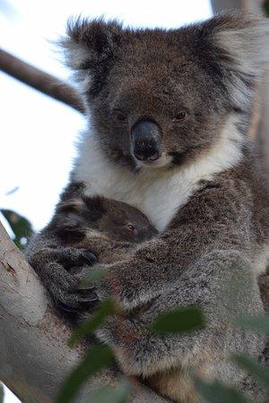 Kingscote, Australia: Mother and baby Koala bear on Kangaroo Island