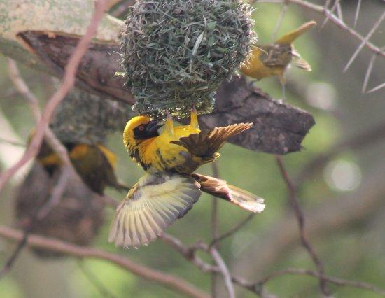 Hluhluwe, Sudáfrica: Weaver Bird