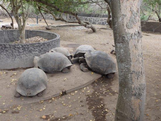Puerto Villamil, الإكوادور: Isabela, Centro de Crianza de tortugas Arnaldo Tupiza, ejemplares adultos.