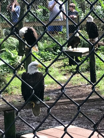 Busch Wildlife Sanctuary: Bald Eagles