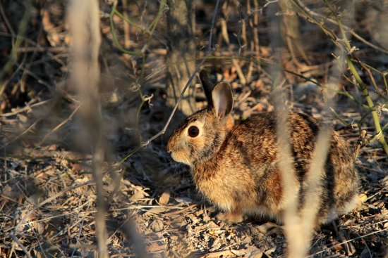 Decatur, TX: small cottontail