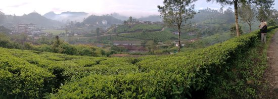 The Silver Tips: Morning stroll in the tea plantation. Hotel is on the left in the distance.
