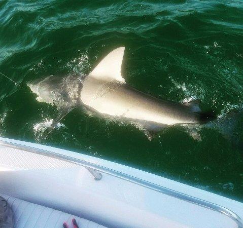 Port Saint Lucie, FL: big inshore bull shark!