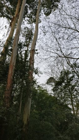 Xinjin County, Kína: Tall, beautiful trees.