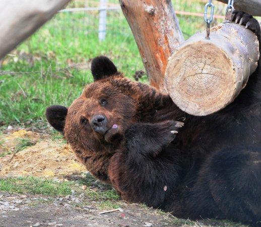 Zhytomyr Oblast, Ucraina: Bears enjoying nature in the White Rock shelter near Zhytomyr, Ukraine.