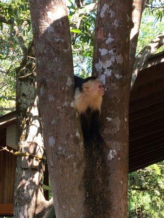 Artola, كوستاريكا: monkey by the check in area