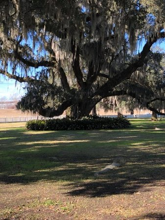 Destrehan Plantation: Live Oak on the plantation