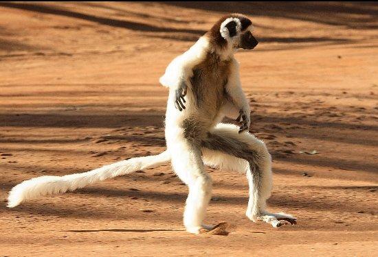Antananarivo, Madagaskar: Sifaka Lemurs by Cactus Madagascar at Berenty - www.cactus-madagascar.com